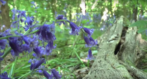 bluebell woods gorleston 3