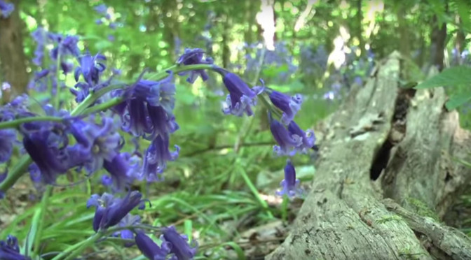 Bluebell Woods Gorleston